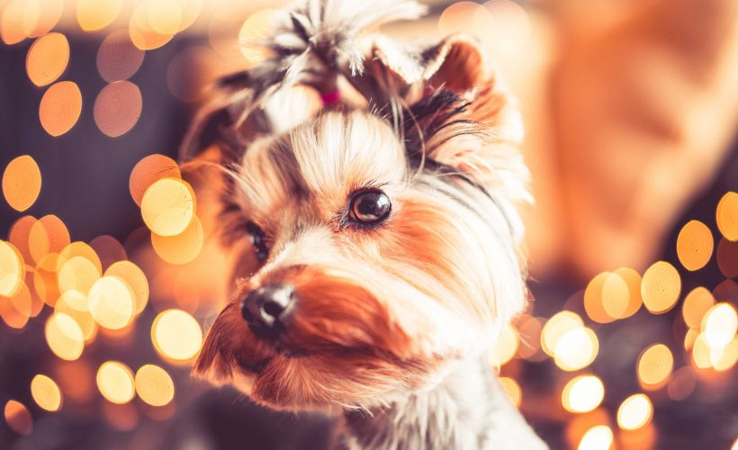 Wonderful Christmas Portrait of Cute Yorkshire Terrier